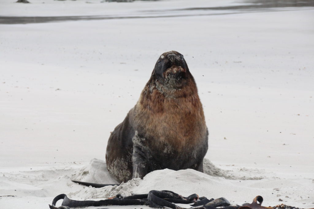 NZ Hooker Sealion posing