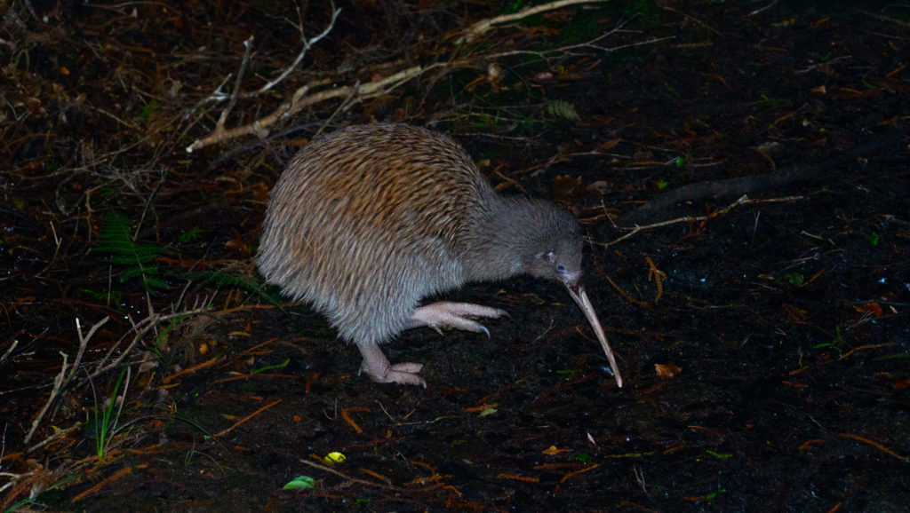 Stewart Island Kiwi Bird at Night