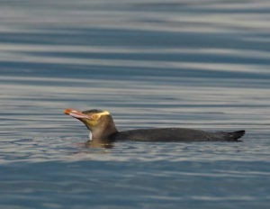 Yellow Eyed Penguin, spotted on a pelagic tour