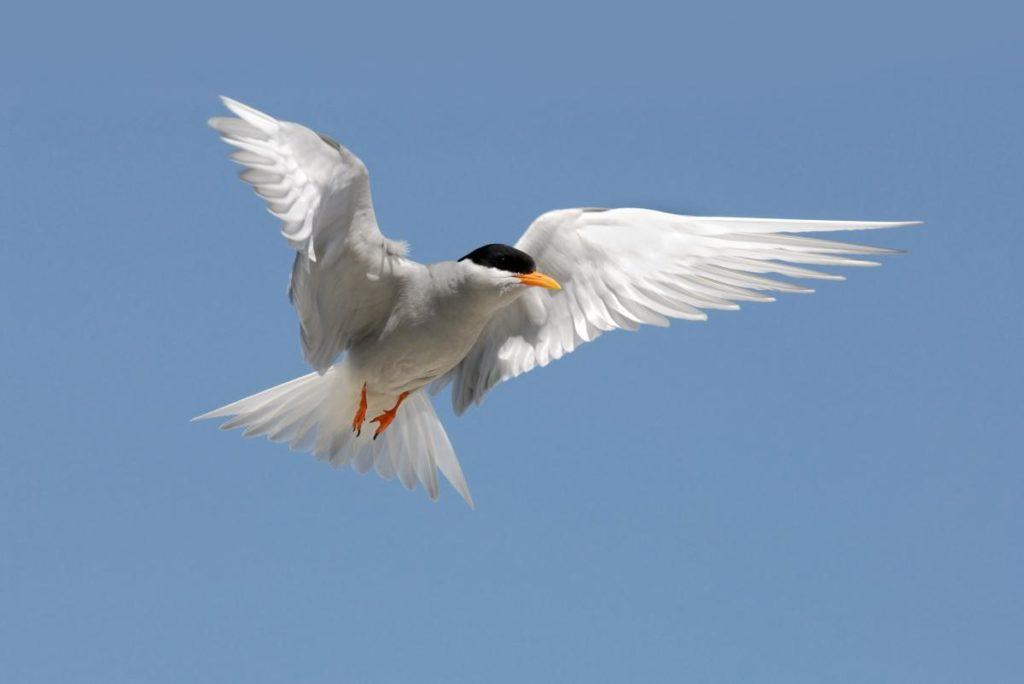 Black-fronted Tern - Image © Craig McKenzie