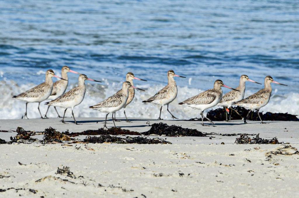 Godwits - Image Beaks & Feathers