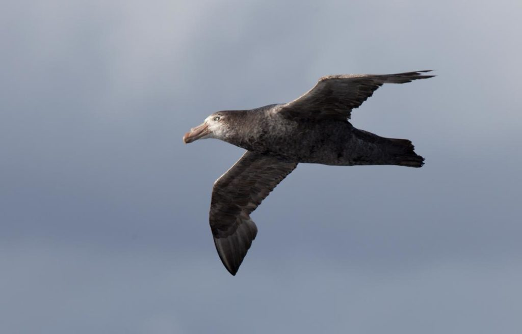 Northern Giant Petrel Image © Sonja Ross