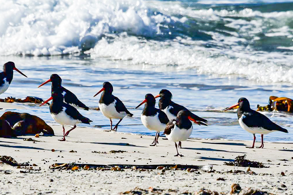 Pied Oyster Catcher - Image Beaks & Feathers