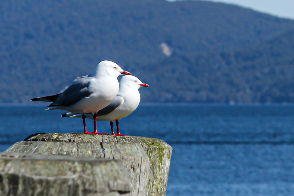 Red Billed Gulls