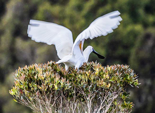 Royal Spoonbill - Image captured by Beaks & Feathers on pelagic tour