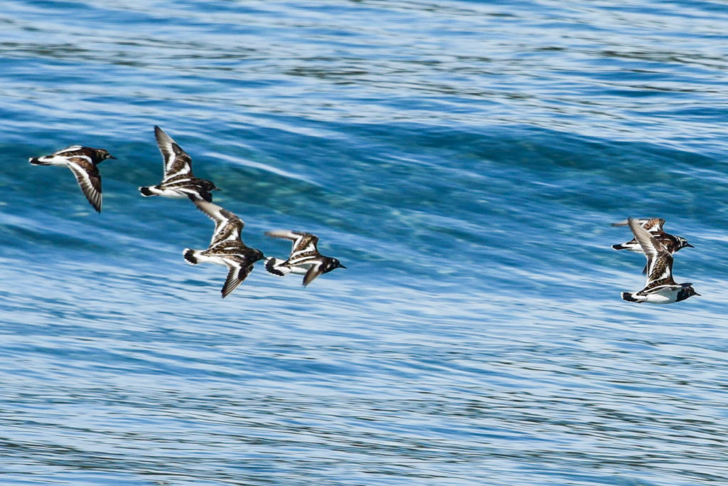 Ruddy Turnstones in flight pelagic tour