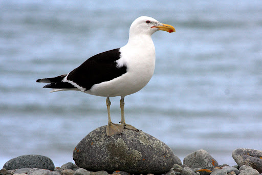 Southern Black-backed Gull - Image © Rebecca Bowater