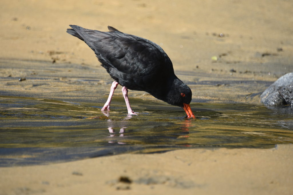Variable Oyster Catcher foraging
