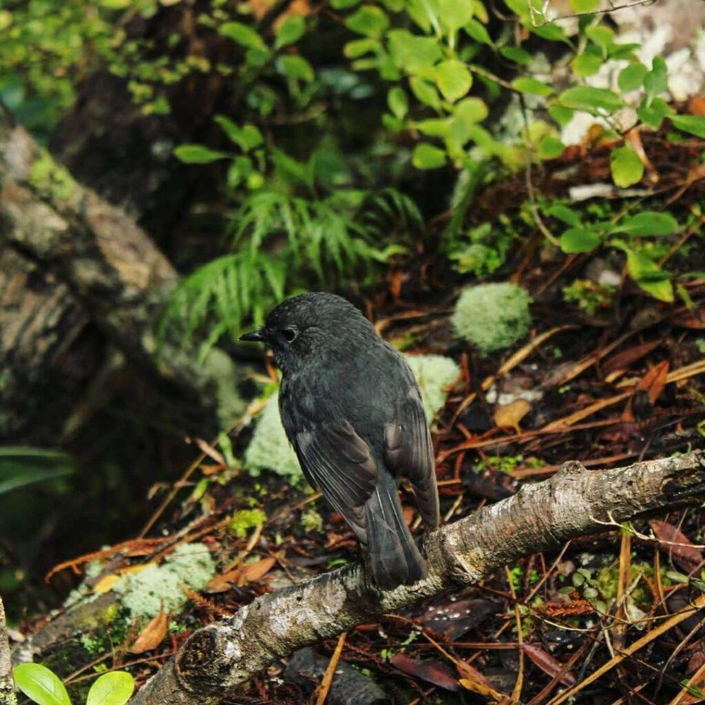 South Island Robin, Ulva Island, Stewart Island Guided Walks