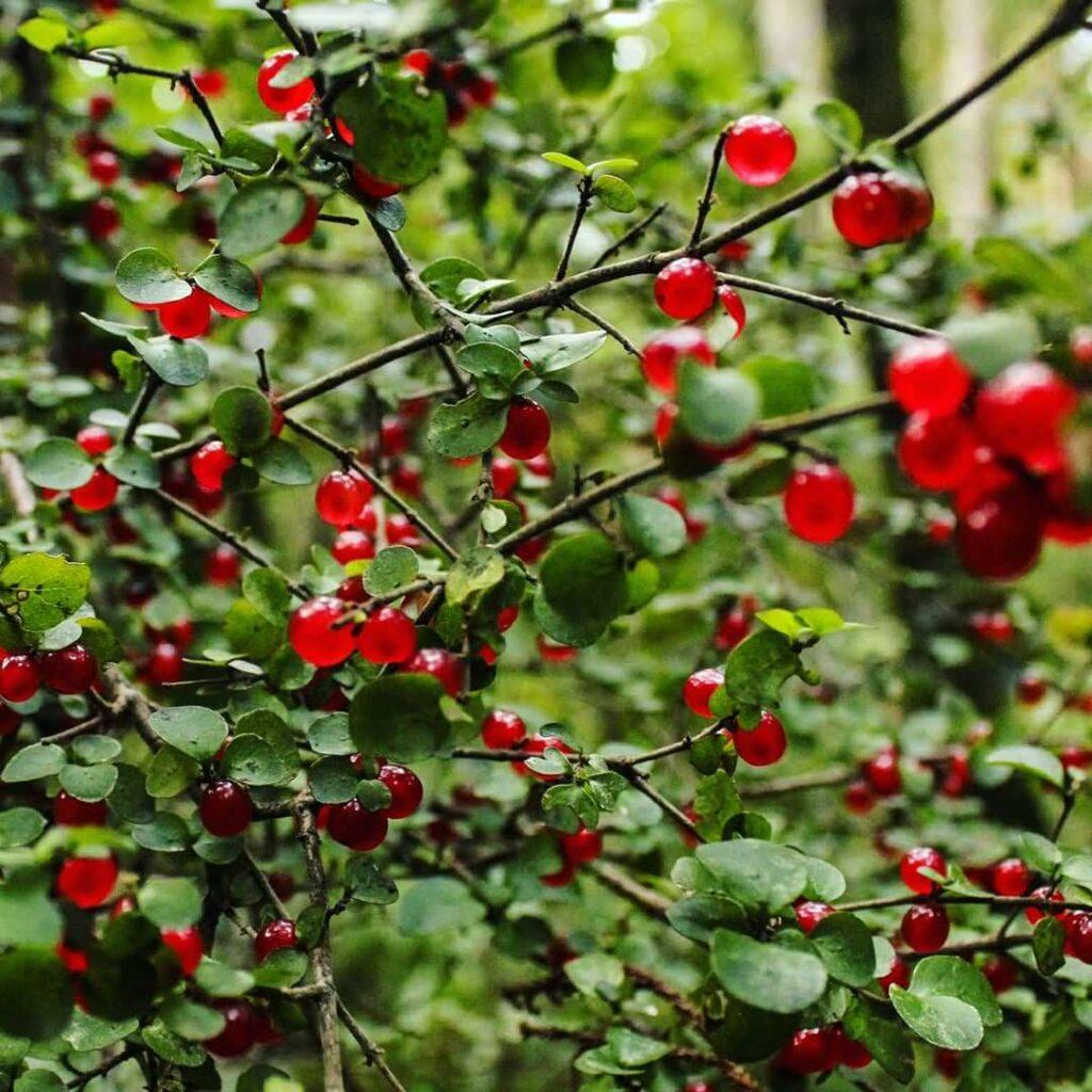 Coprosma Berries, Ulva Island